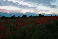 Poppies at sunset (christina.marsh25) Tags: poppies sunset hampshire wiltshire fields corn farm landscape