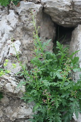 Scrophularia cf variegata Lago-Naki July 2018 (Aidehua2013) Tags: unidentified unidentifiedplant plant flower lagonaki maikopdistrict adygea russia caucasus scrophulariaceae scrophularia lamiales