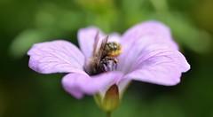 ?osmia bee in a hardy flowering geranium (conall..) Tags: geranium hardy osmia bee macro closeup lens 50mm prime nikon nikkor afs dcr250 raynox primelens f18g nikonafsnikkorf18g park belfast northernireland botanic southbelfast