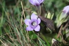 Gentianella caucasea Lago-Naki July 2018 (Aidehua2013) Tags: gentianella caucasea gentianaceae gentianales plant flower lagonaki maikopdistrict adygea russia caucasus