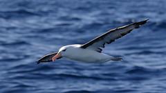 Black-browed Albatross (blachswan) Tags: portfairy portfairypelagic pelagicboattrip pelagics pelagic southernocean southernexplorer blackbrowedalbatross thalassarchemelanophris birdinflight
