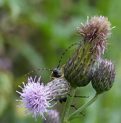 Gefleckter Schmalbock (four-hearts) Tags: schmalbock bockkäfer käfer insekt tier lebewesen pflanze frühjahr frühling gefleckterschmalbock gefleckt natur distel