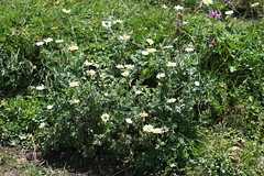 Cota melanoloma Lago-Naki July 2018 (Aidehua2013) Tags: cota melanoloma asteraceae asterales plant flower lagonaki maikopdistrict adygea russia caucasus