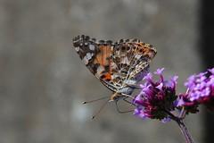 Graauw (Omroep Zeeland) Tags: bloemen vlinder