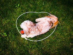 In The Zone (PEEJ0E) Tags: above from dog grass backyard ball chuckit maltese rusty