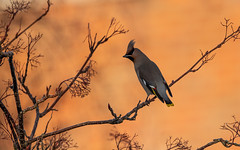 waxwing (dilshanam1979) Tags: wildlifeperfection wildlifephotography widlife widlifelovers nature naturephotography naturelovers birdphotography bird bbcspringwatch waxwings coth coth5