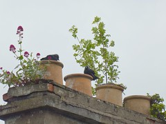 20190613 Jackdaws (an_extract_of_reflection) Tags: jackdaw bird roof rooftop chimney chimneypot