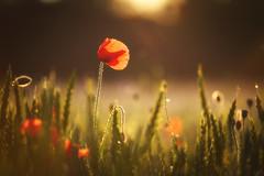 Poppy in Sunset (johaennesy) Tags: poppy flower warm sunrise red green orange horizontal opensourcesoftware gimp rawtherapee gegenlicht geisecke schwerte ruhrgebiet ruhrwiesen