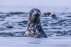 Shot from cayak.Seal team Utklippan observation post. (Kristian Ingemansson) Tags: utklippan säl