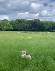 paintball (mistdog) Tags: teesdale photoscapex lamb sheep field