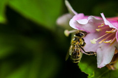 Bee Flower Macro (ecclesd1) Tags: insect bee nature outdoors animal macro