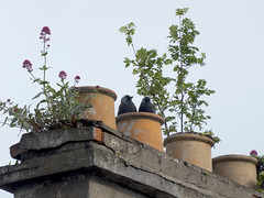 20190608 Young Jackdaws (an_extract_of_reflection) Tags: jackdaw bird roof rooftop chimney chimneypot