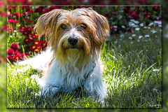 Kromfohrländer, Ibo vom Bodensee (wb.fotografie) Tags: kromfohrländer ibovomaubrig bodensee schweiz hund familienhund