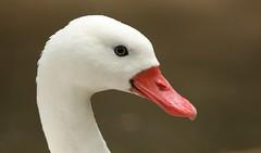 Snow white Goose (?) (Gavin E Young) Tags: goose snow white portrait canon 5ds 400mm bird