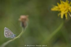 Adonis Blue (frattonparker) Tags: btonner bokeh butterfly farfalle isleofwight lightroom6 mariposa nikkor105mmafsmicrof28ged nikond810 papillon prime raw schmetterling frattonparker