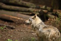 Eurasian Grey Wolf (Gavin E Young) Tags: eurasian grey wolf dog k9 canine canon 5ds 400mm