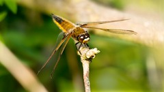 Perched on the tip (sootyskye) Tags: nikond7100 rspbminsmere sigmadg150500apohsm dragonfly fourspottedchaser