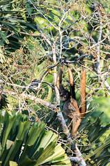 Macaco-aranha (Johnny Photofucker) Tags: amazonas amazônia amazon brasil brasile brazil macaco macacoaranha sãogabrieldacachoeira fauna floresta forest foresta selva jungle giungla