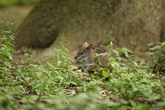 not sure (Gavin E Young) Tags: marsupial animal small canon 5ds 400mm