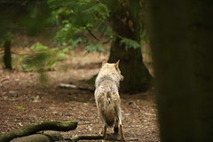 Eurasian Grey Wolf (Gavin E Young) Tags: wolf grey dog canine k9 canon 5ds 400mm