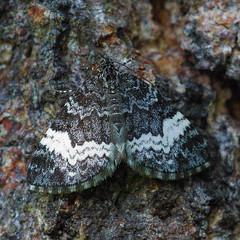 White-banded Carpet Moth - Spargania luctuata (jbinpg) Tags: whitebandedcarpetmoth adult imago princegeorge bc canada sparganialuctuata