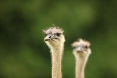 Emu's (Gavin E Young) Tags: emu emus bird birds canon 5ds 400mm