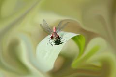 Tu sais qu't'as de beux yeux toi!! (patrickparsol) Tags: libellule insecte rouge yeux