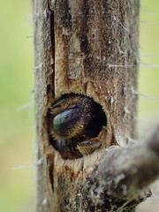 Hoplitis tridentata (Stefan Verheyen) Tags: bee nest insect macro echiumvulgare