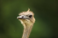 Emu (Gavin E Young) Tags: emu bird canon 5ds 400mm