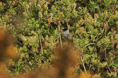 Blackcap (m) (jon lees) Tags: bird countydown newtownards whitespots northernireland lead mines