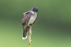 Eastern Kingbird (Joe Branco) Tags: green ontario canada bird nature birds branco photoshop joe wildlifephotographer lightroom easternkingbird nikond850 joebrancophotographer