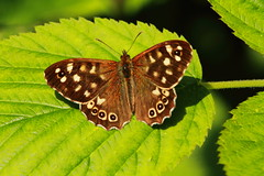 Speckled wood Butterfly (jon lees) Tags: countydown newtownards whitespots northernireland lead mines