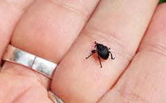 Weevil, Rhinoncus pericarpius (2) (Geckoo76) Tags: insect weevil rhinoncuspericarpius