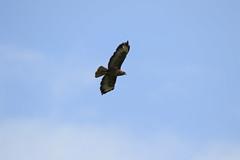 Buzzard (jon lees) Tags: bird countydown newtownards whitespots northernireland lead mines