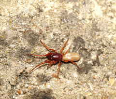 Woodlouse spider (Steven & Joey Thompson) Tags: this female spider has been sorting our woodlouse problem hence her larger than usual size
