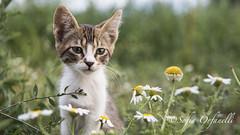 cat portrait (thevideowoman) Tags: cat cats catportrait nature kittie catface animals