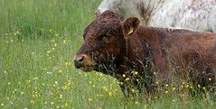 [NT] Hardwick Hall Park. Meadow n Moo Cows. June 2019 (Simon W. Photography) Tags: hardwickpark hardwickhallpark derbyshire thenationaltrust nationaltrustuk nationaltrust ntmidlands ntchallenge nationaltrustmembers nationaltrustmember nthardwick sonyrx10iv sonyrx10m4 sonydscrx10m4 sonyuk sony rain raining pond lake countryside outside outdoors outdoor derby peakdistrict peakdistrictnationalpark cow ungulates