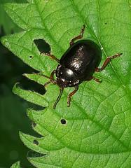 Leafbeetle ,Chrysolina staphylaea (Geckoo76) Tags: insect leafbeetle chrysolinastaphylaea beetle