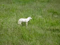 Decoy[ote] (jchants) Tags: quabbinreservoir belchertownma decoy coyote
