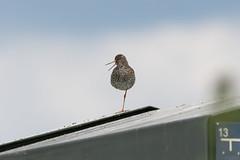 One leg bird (CapMarcel) Tags: one leg bird roof rop
