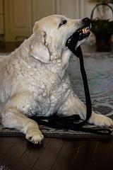 Silly grin (Davey341) Tags: dog cute puppy dof goldenretriever depthoffield cutepuppy dogtoy happydog sudbury ontario canada