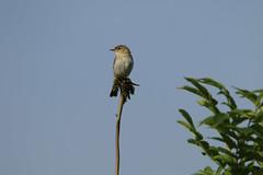 willow warbler (jon lees) Tags: bird countydown newtownards whitespots northernireland lead mines