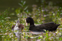 Mother & Doughter Duck (redfurwolf) Tags: ducks animal nature wildlife lake water plants chick outdoor redfurwolf tamron150600g2 a7rm3 sonyalpha sony