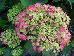 Hortensien (Hannelore_B) Tags: blume flower hortensie hydrangea