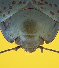 ©dogbaneleafbeetlejpeg (hasankutaygündoğan) Tags: macro makro böcek leafbeetle mitutoyo