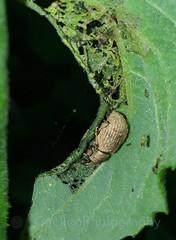 weevil (Geckoo76) Tags: insect weevil beetle
