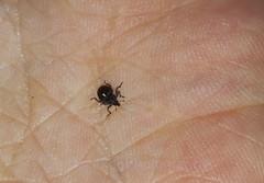 Weevil, Rhinoncus pericarpius (Geckoo76) Tags: insect weevil rhinoncuspericarpius