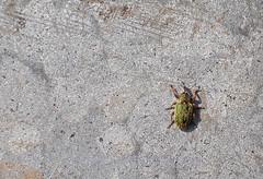 Lesser clover leaf weevil, Hypera nigrirostris (Geckoo76) Tags: insect lessercloverleafweevil hyperanigrirostris weevil beetle