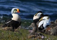 King Eider 32 (æðarkóngur) (Svenni and his Icelandic birds.) Tags: kingeider æðarkóngur somateriaspectabilis