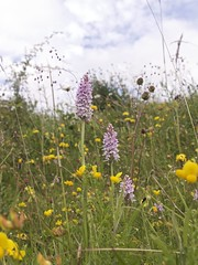 Orchids in the field (Englepip) Tags: flowers wild meadow yellow orchid hampshire commonspotted dactylorhizafuchsii